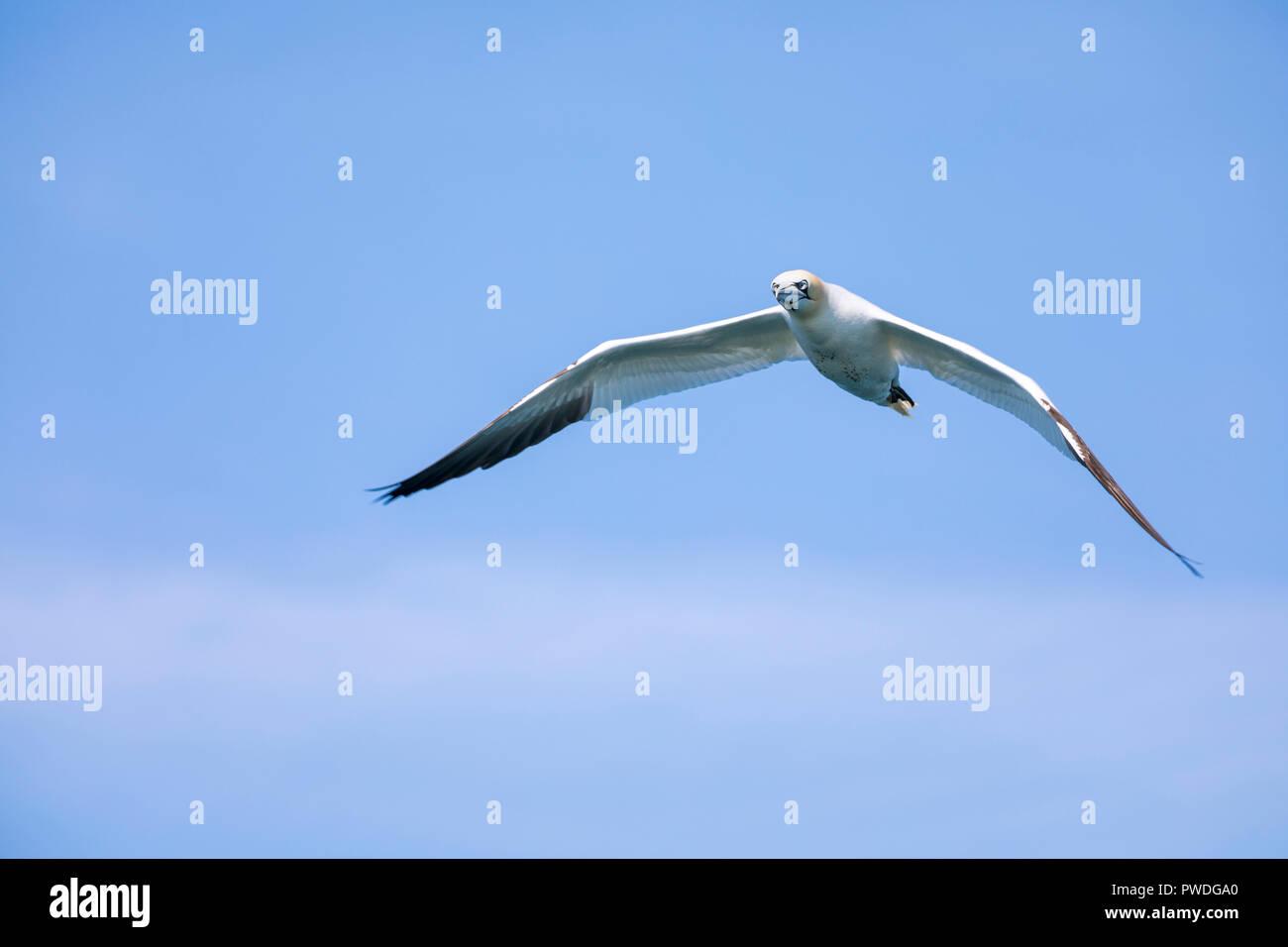 Northern Gannet (Morus bassanus) - Stock Image