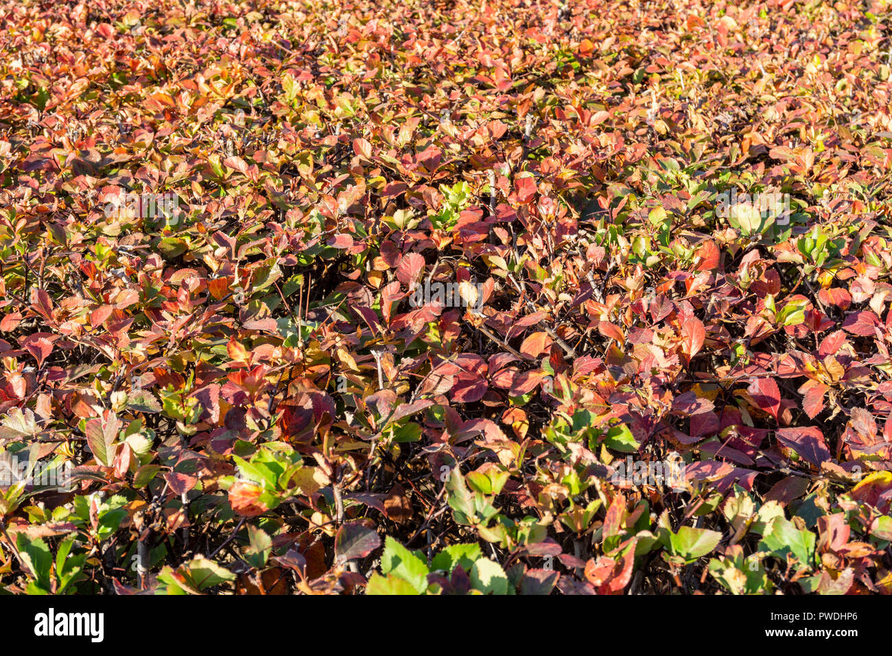 Berlin, Germany, October 10, 2018:  Full Frame Close-Up of Red Hedge Stock Photo