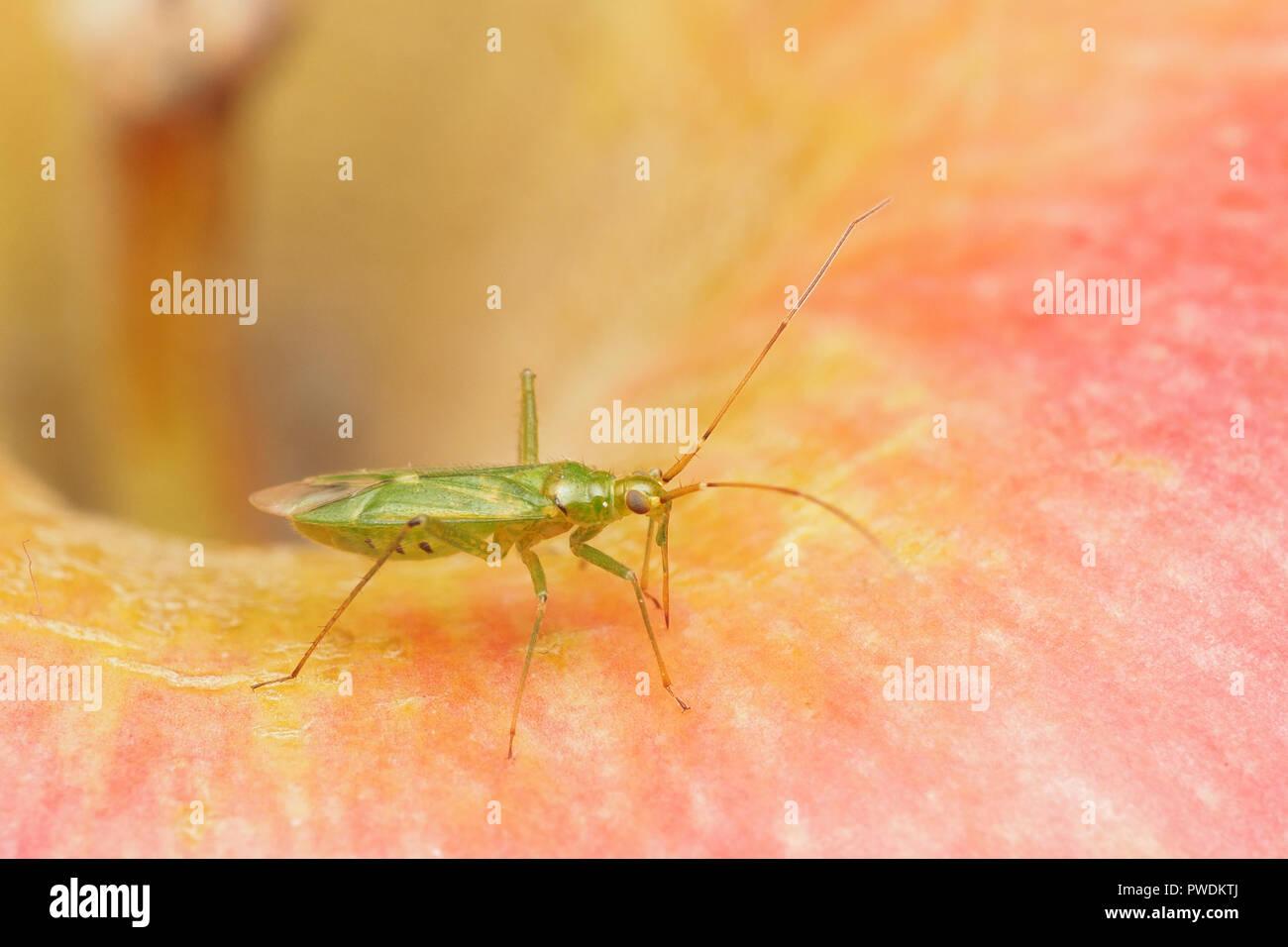 Capsid Bug (Blepharidopterus angulatus) on an apple. Tipperary, Ireland - Stock Image
