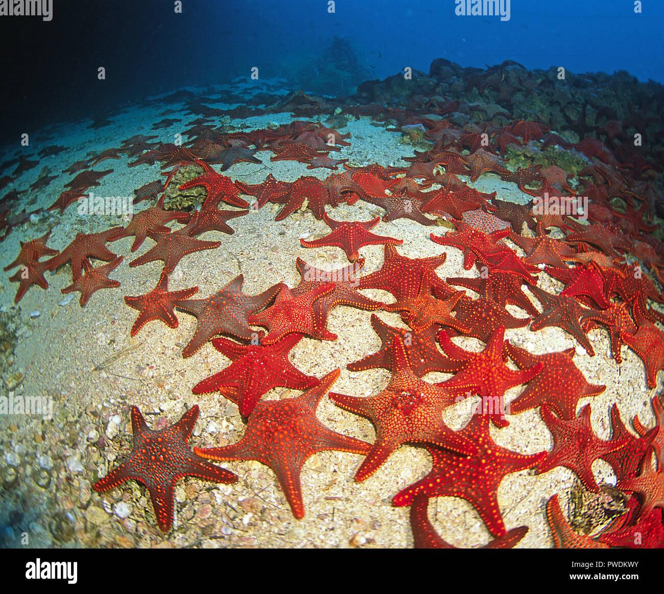 Many Panamic cushion sea stars, Cuming's sea star or Galapagos sea star (Pentaceraster cumingi), Galapagos islands, Ecuador - Stock Image