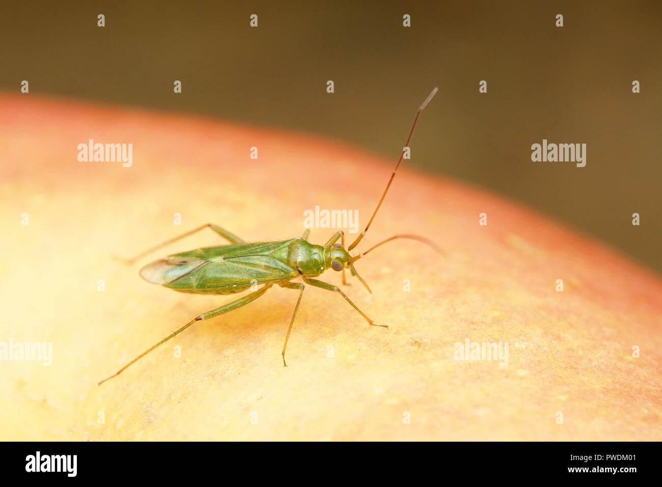 Capsid or mirid bug (Blepharidopterus angulatus) on an apple. Tipperary, Ireland - Stock Image