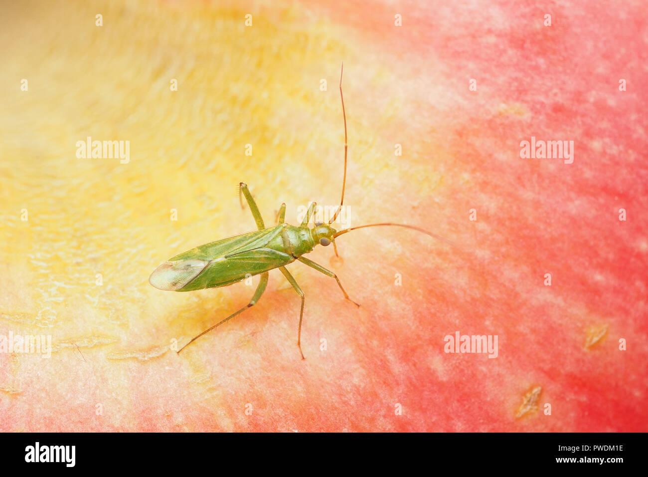 Green Capsid bug (Blepharidopterus angulatus) on an apple. Tipperary, Ireland - Stock Image