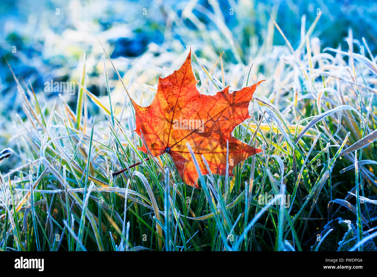 natural background beautiful bright Golden maple leaf lies on the grass covered with white frost in the morning autumn garden - Stock Image