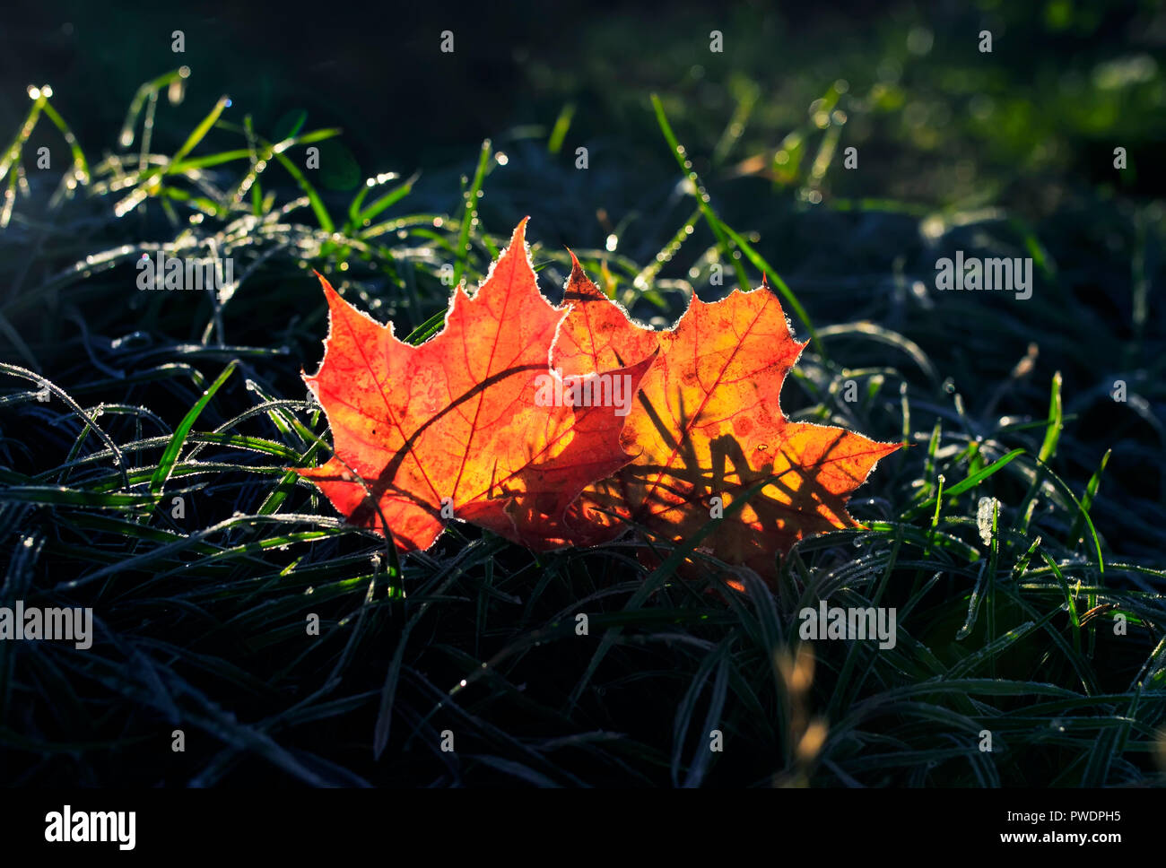 natural background with two beautiful bright Golden maple leaves lying on the grass covered with white frost in the morning autumn garden bathed in su - Stock Image