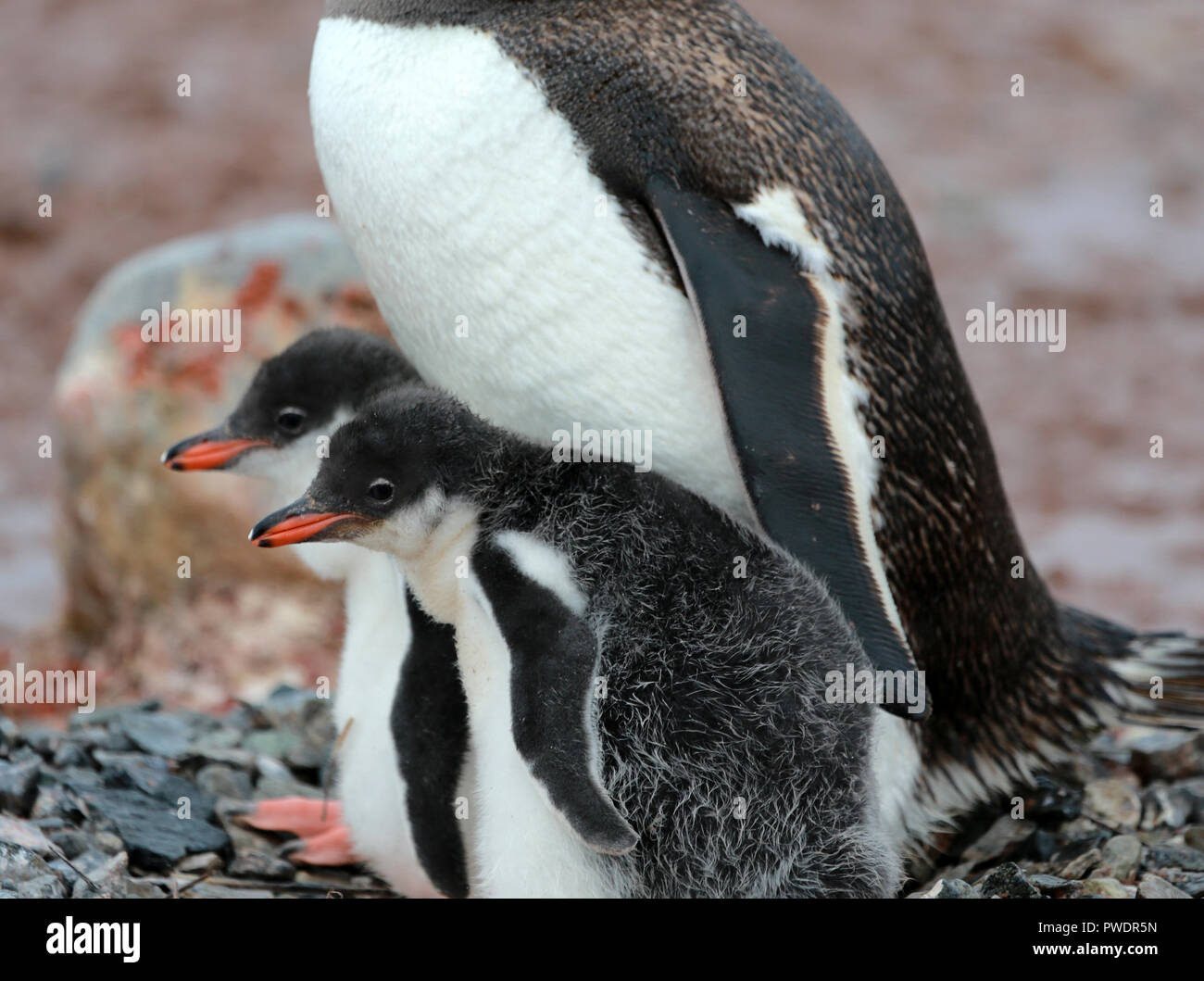 parent Gentoo Penguin with two chicks on pebble nest - Stock Image