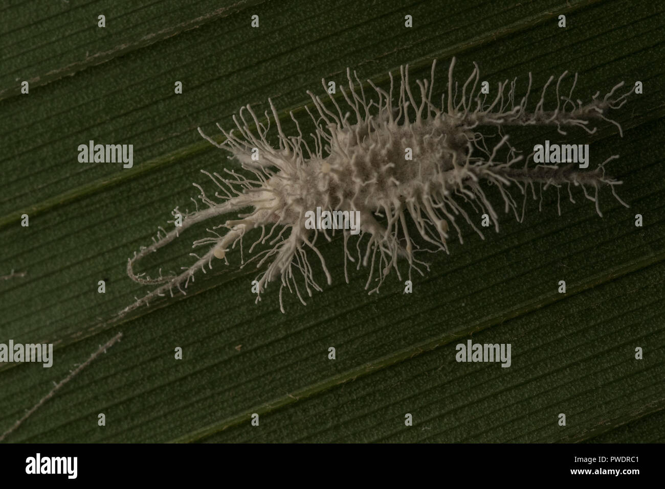 A parasitic entomopathogenic fungus that has taken over and killed this cricket and is now sprouting from its body and releasing more spores. - Stock Image