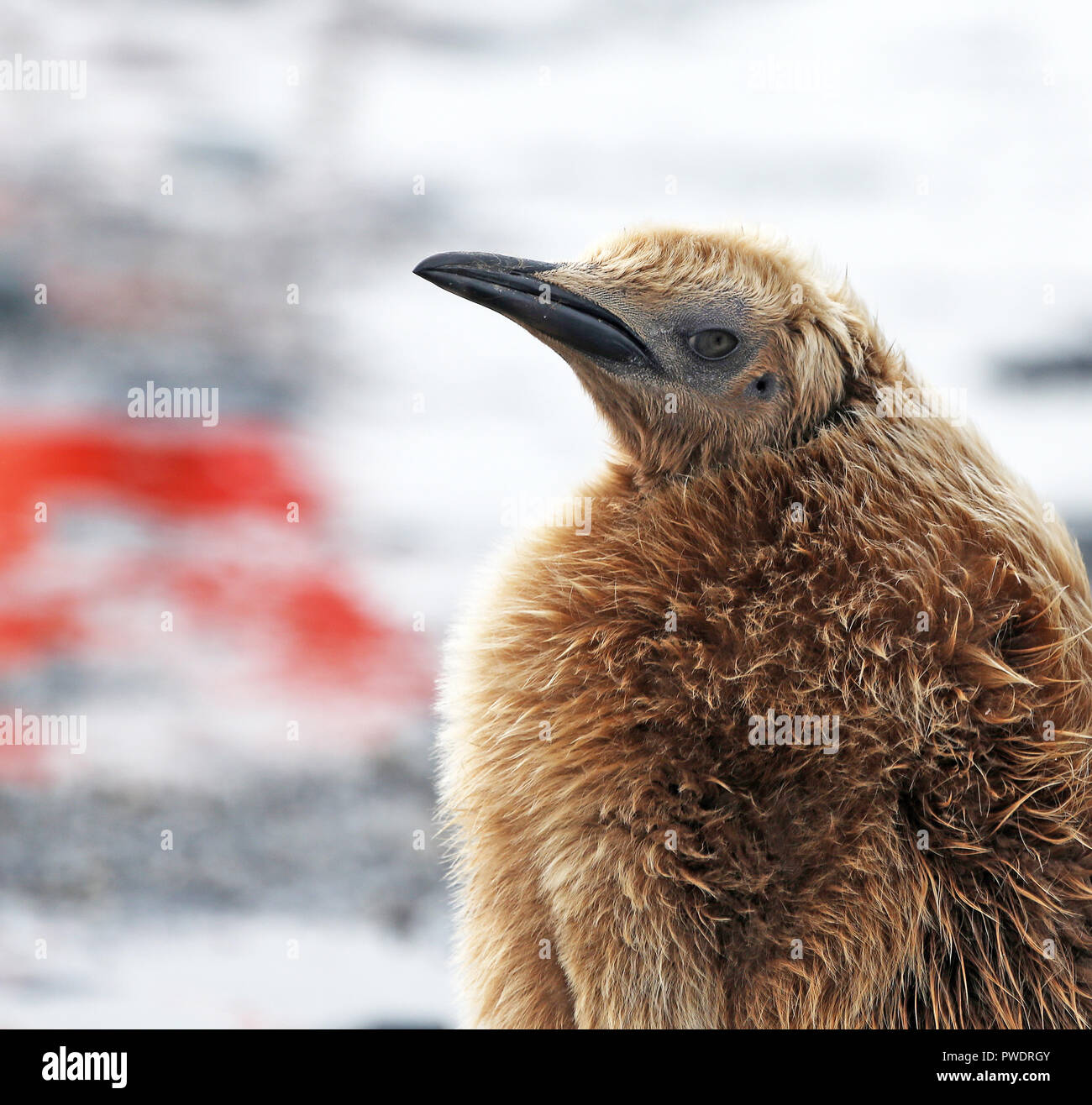 closeup of 'Oakum Boy' in juvenile brown plumage, King Penguin - Stock Image
