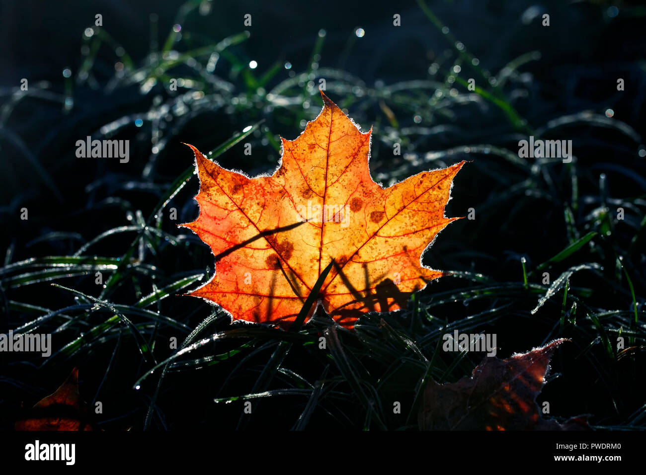 natural background beautiful bright Golden maple leaf lies on the grass covered with white frost in the morning autumn garden bathed in sunlight - Stock Image