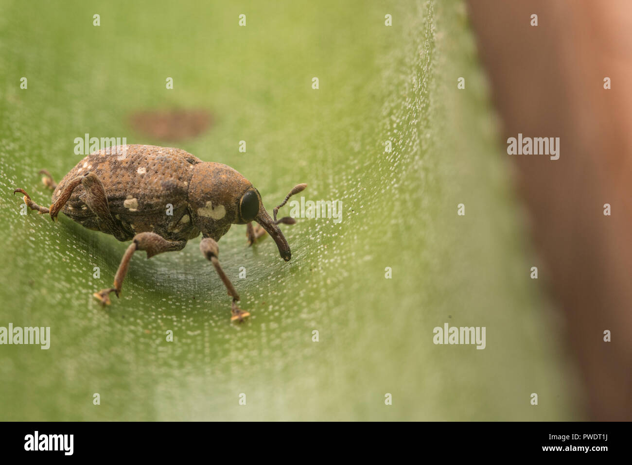 A small weevil found on a plant in Peru's Madre de Dios department. These beetles largely feed on plants and sap. - Stock Image