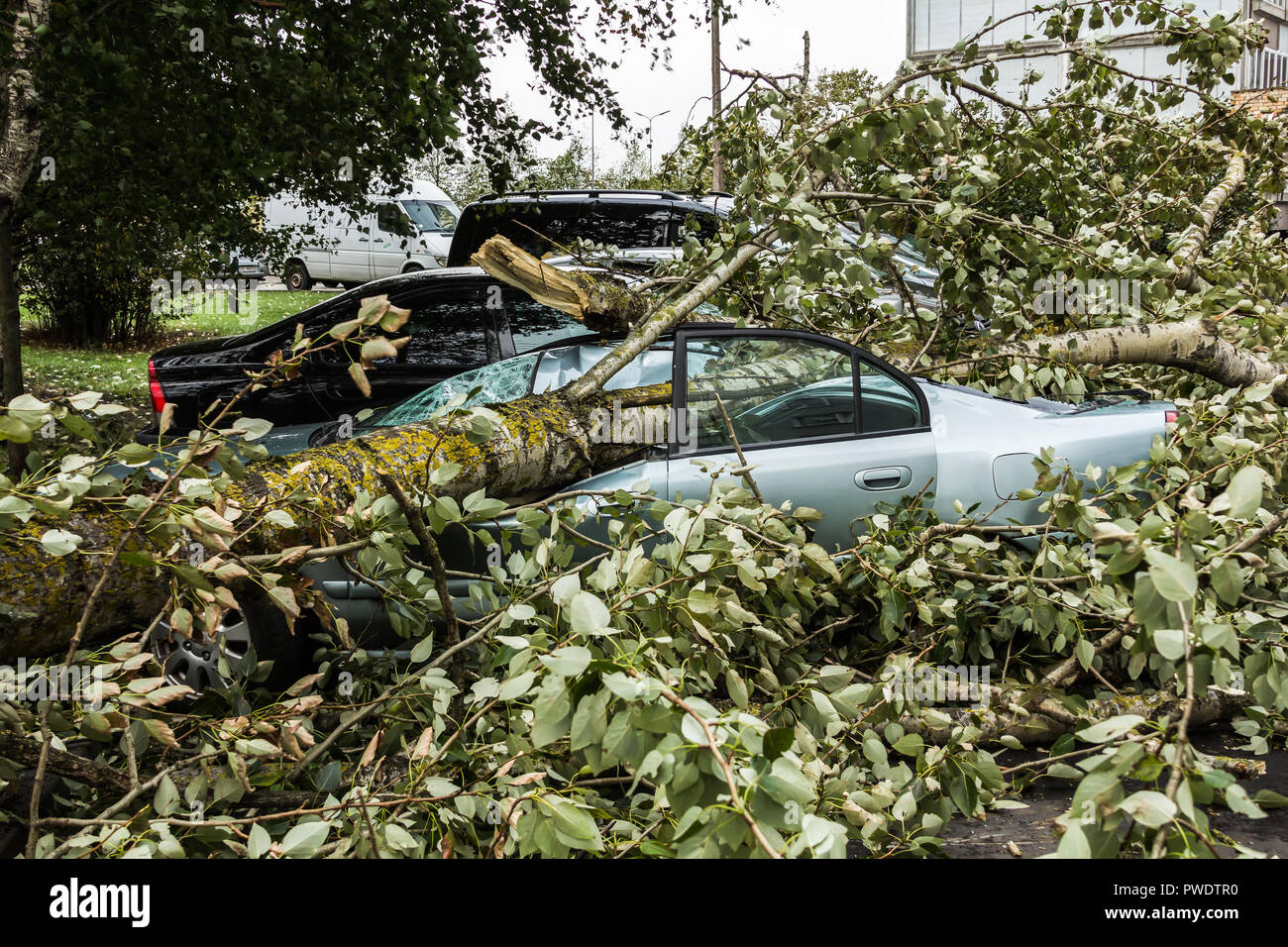 a strong september wind broke a tree that fell on a car parked nearby, disaster backgroiund - Stock Image