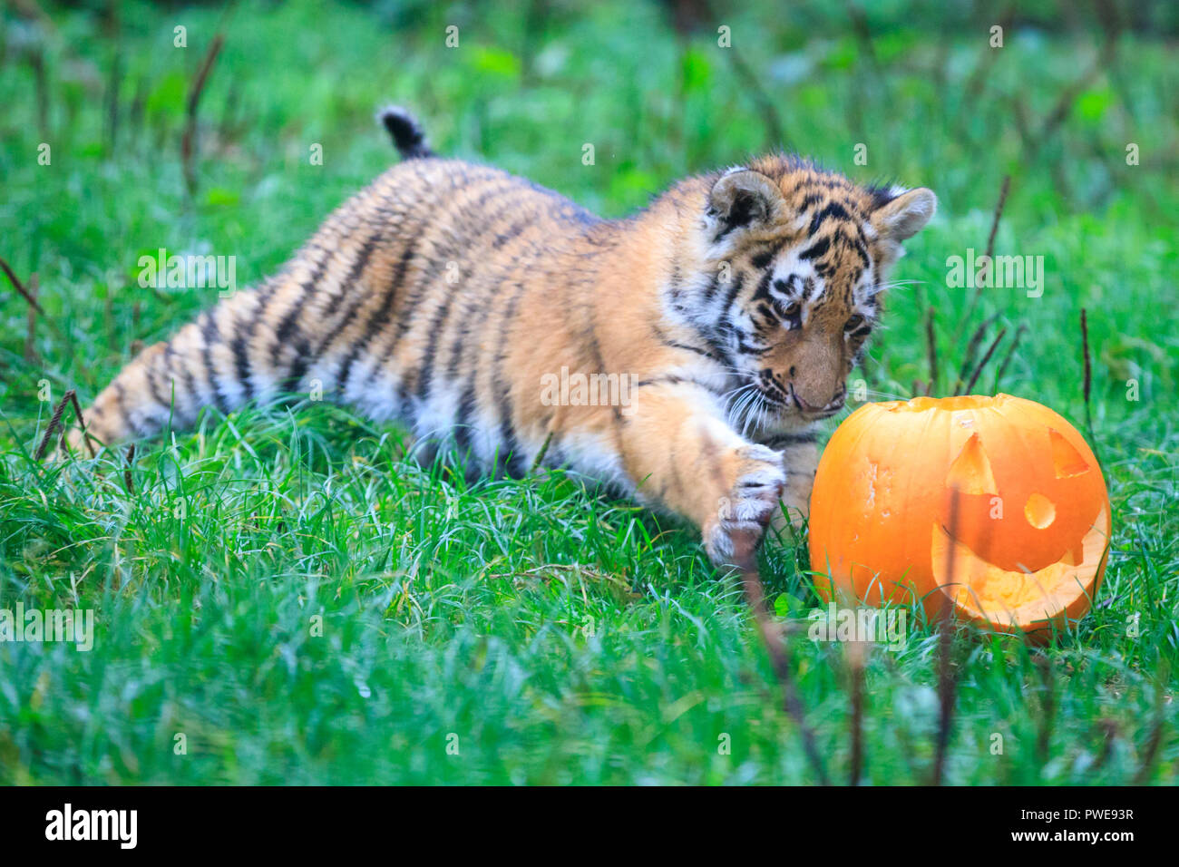 ZSL Whipsnade, UK - 16th Oct 2018. Cheey cub Makari is the first to investigate. Three inquisitive four-month-old Amur tiger cubs, named Dmitri, Makari and Czar, along with their mum Naya and dad Botzman, use their senses to investigate and play with their Halloween pumpkin enrichments.   The surprises are given out ahead of Boo at the Zoo, ZSL Whipsnade Zoo's annual celebration of hairy-scary Halloween family fun which runs from Saturday 20 October to Wednesday 31 October 2018. Credit: Imageplotter News and Sports/Alamy Live News - Stock Image