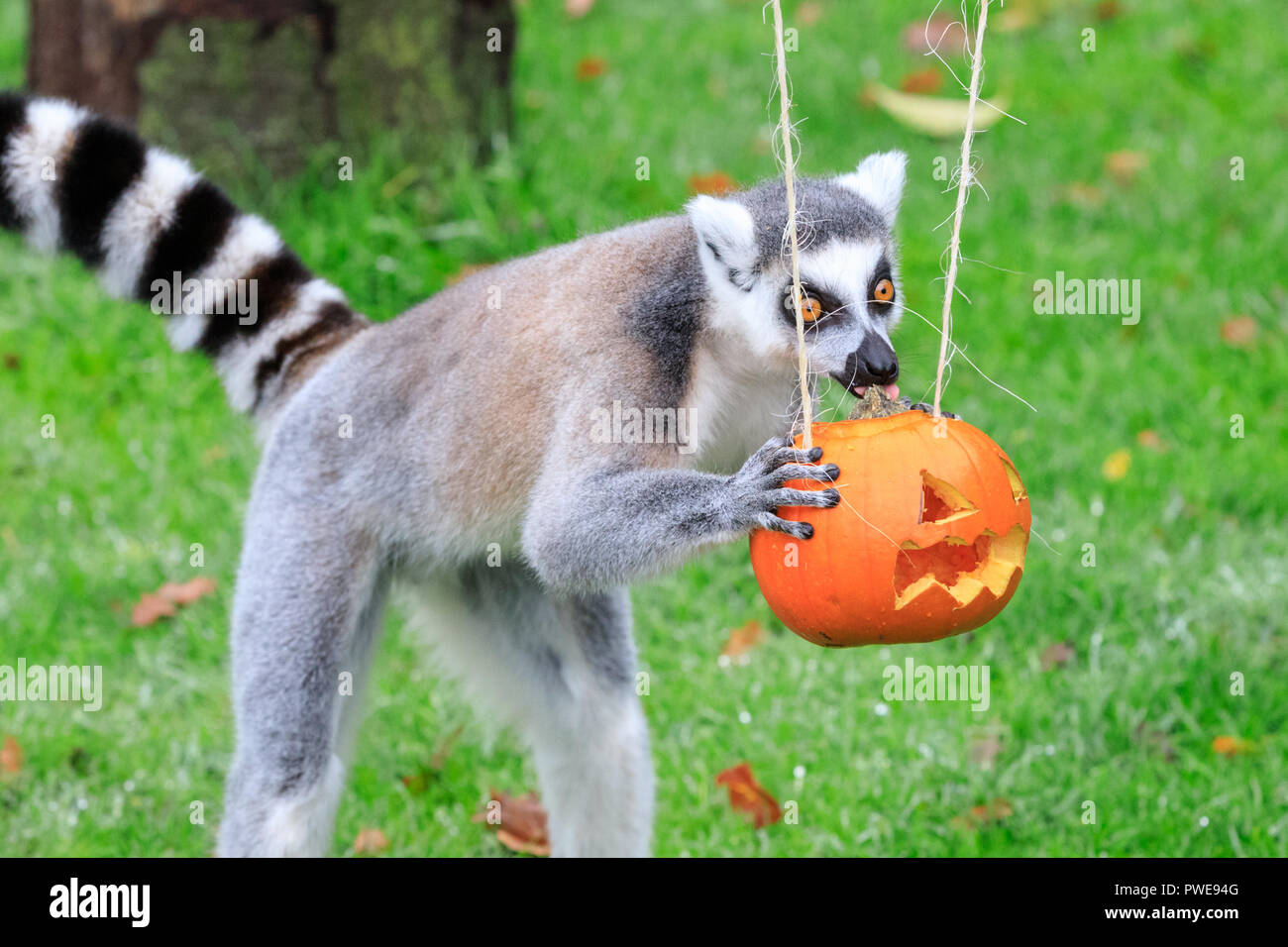 ZSL Whipsnade, UK, 16th Oct 2018. A group of playful ring-tailed lemurs are getting into the Halloween spirit and are excitedly investigating their pumpkins and treats. These are given out ahead of Boo at the Zoo, ZSL Whipsnade Zoo's annual celebration of hairy-scary family fun.  The surprises are given out ahead of Boo at the Zoo, ZSL Whipsnade Zoo's annual celebration of hairy-scary Halloween family fun which runs from Saturday 20 October to Wednesday 31 October 2018. Credit: Imageplotter News and Sports/Alamy Live News - Stock Image