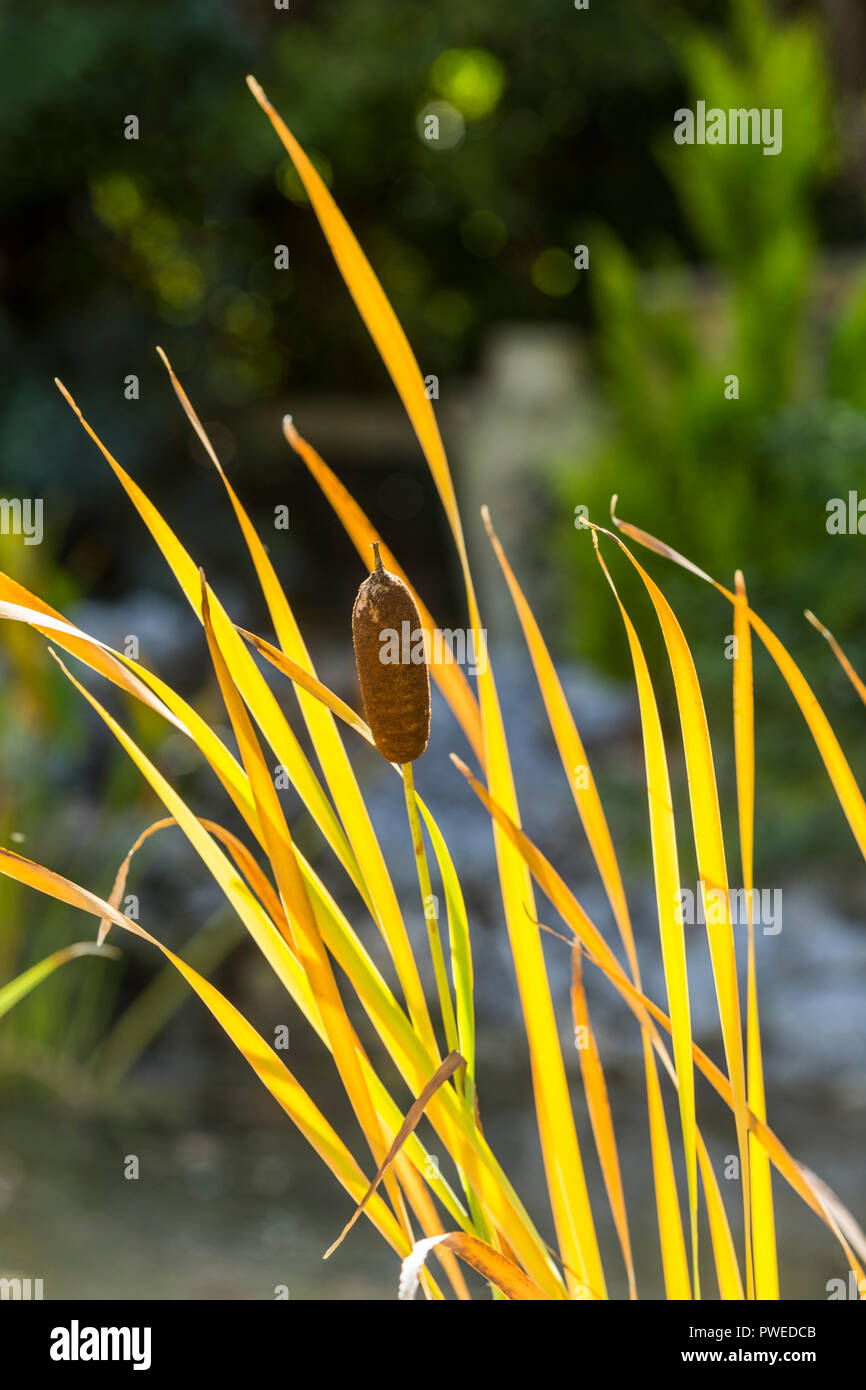 Bulrushes in autumn fall UK beside a garden pond.Cyperaceae - Stock Image