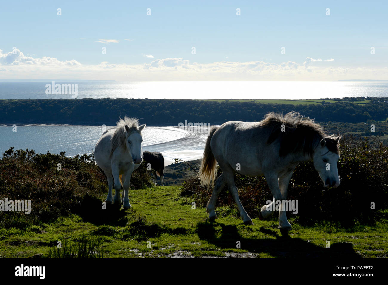 Wild ponies head up the hill with Oxwich bay glittering in the backgroundon Cefyn Bryn, Gower, walesanimals - Stock Image