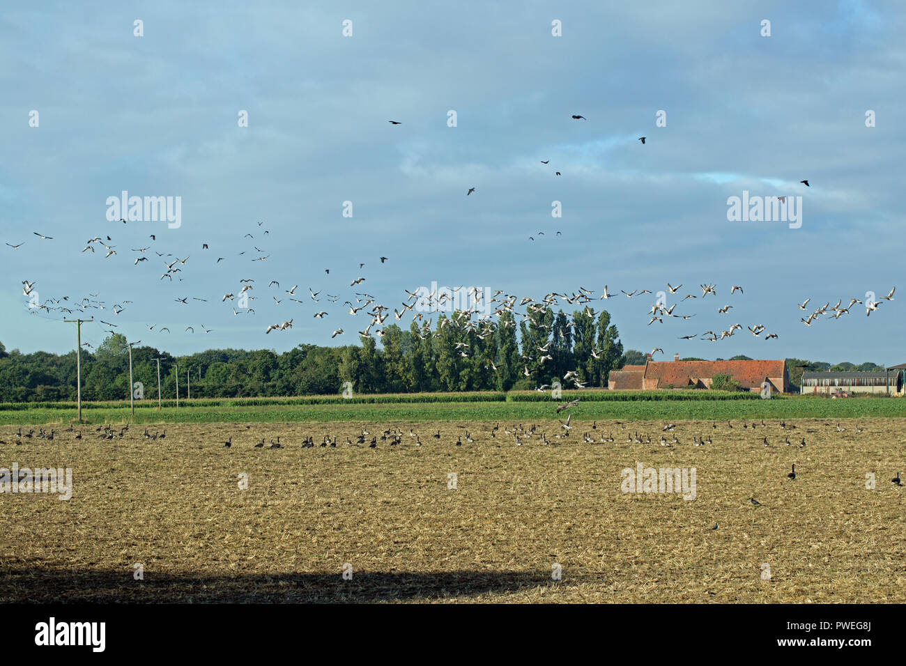 Greylag Geese (Anser anser) taking off in flight, with Canada Geese (Branta canadensis), remaining on the ground. All have been foraging on harvested cereal field. Commensal feeding; competition between native and naturalized bird species.​ - Stock Image