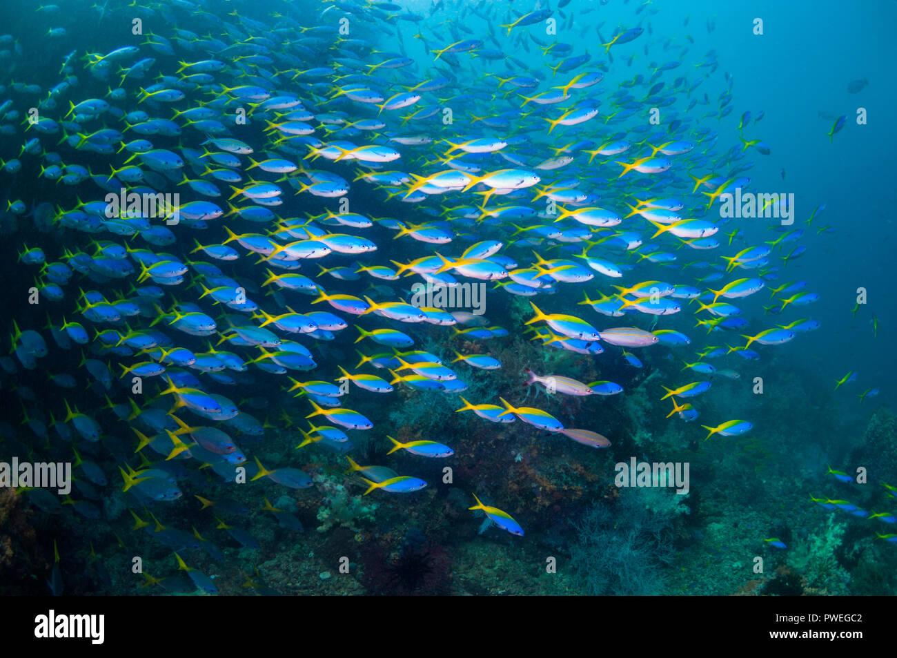 School of Yellowback fusiliers [Ceasio teres].  West Papua, Indonesia. Stock Photo