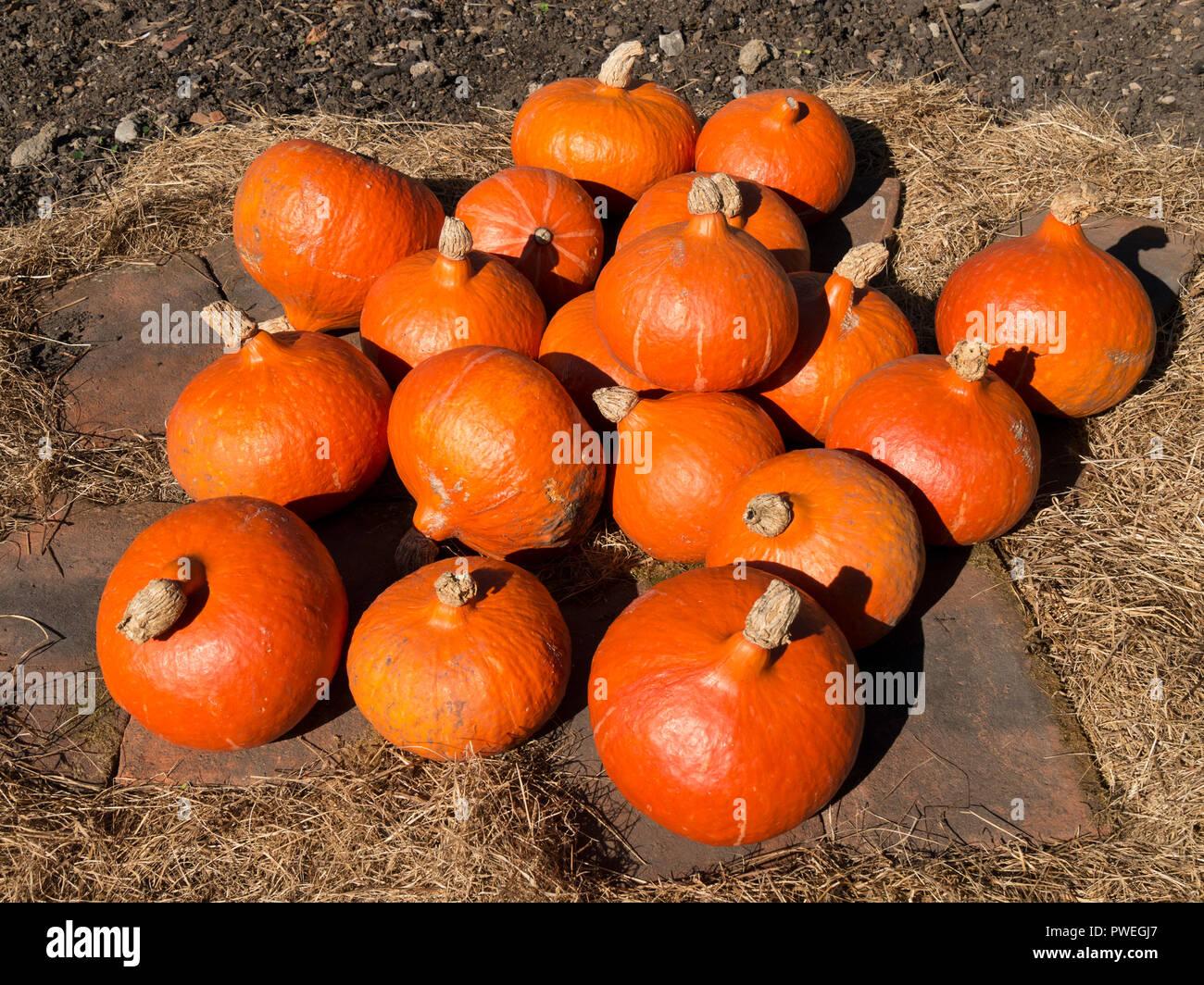 Bright orange Uchiki Kuri pumpkins, also known as Winter / Onion / Hokkaido / Potimarron / Japanese / Orange Hokkaido / Red Kuri squash,UK. Test1a Stock Photo