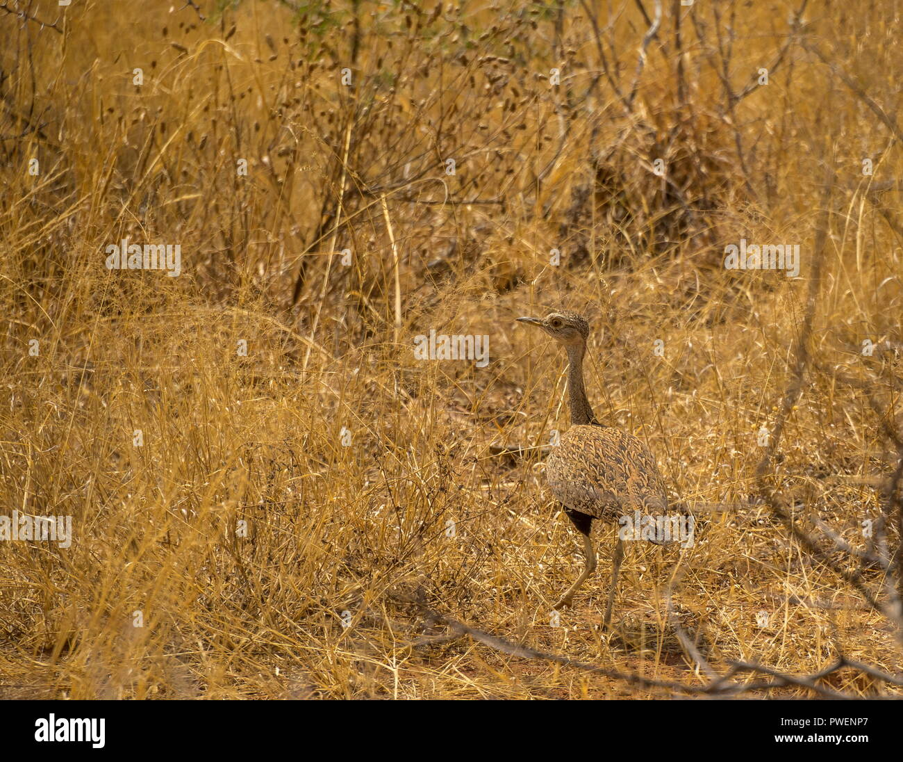 A wild bird well camouflaged in its natural surroundings image with copy space in landscape format - Stock Image