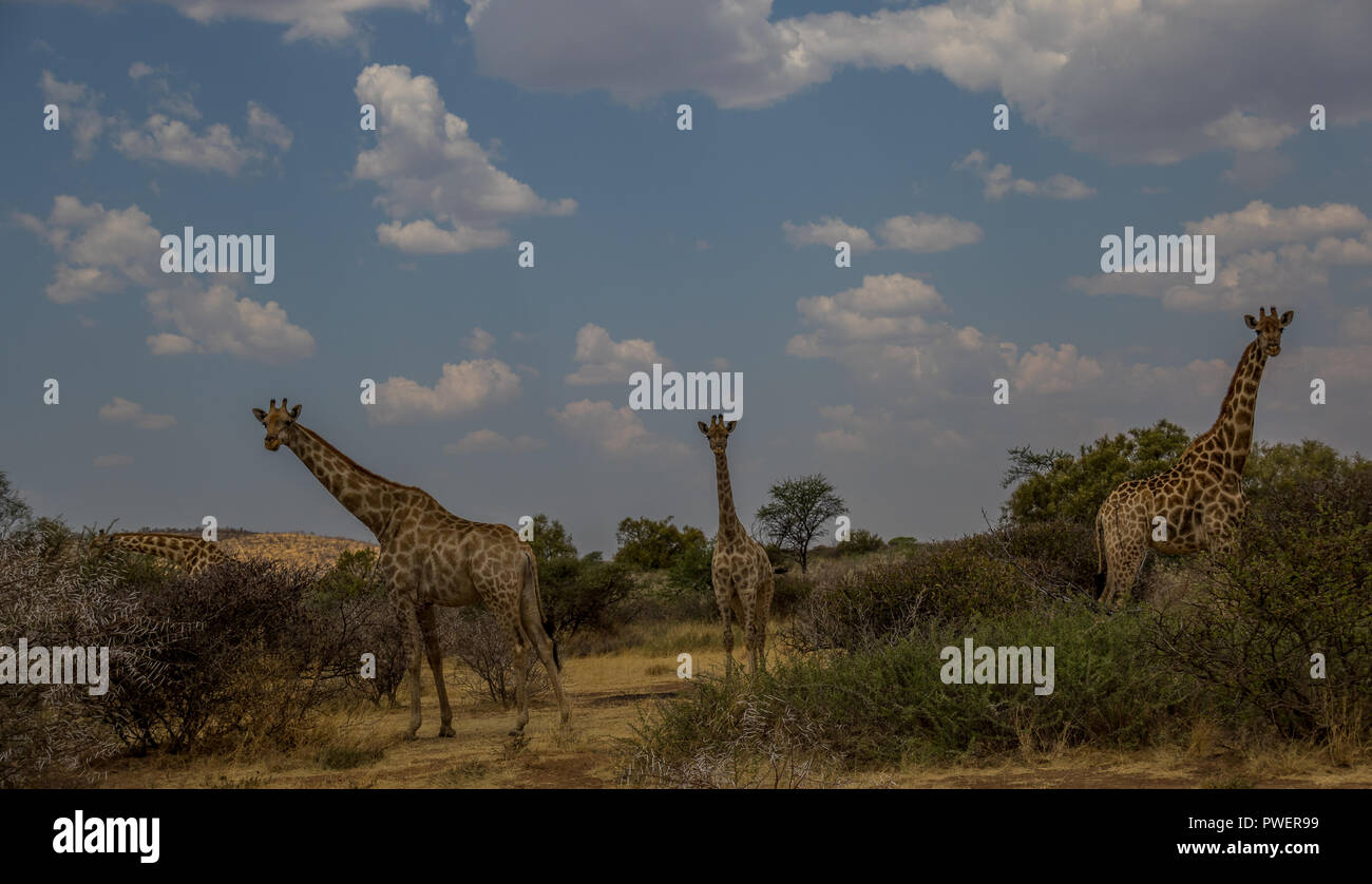 African landscape with giraffes image with copy space in landscape format - Stock Image
