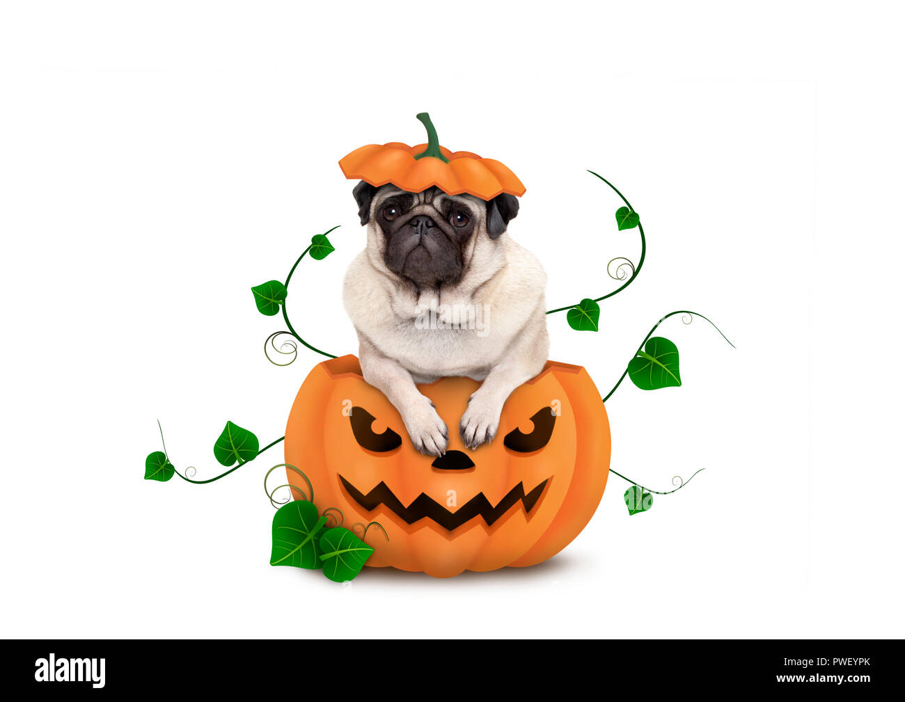 cute Halloween pug puppy dog sitting in carved pumpkin with scary face, wearing lid as hat, isolated on white background Stock Photo