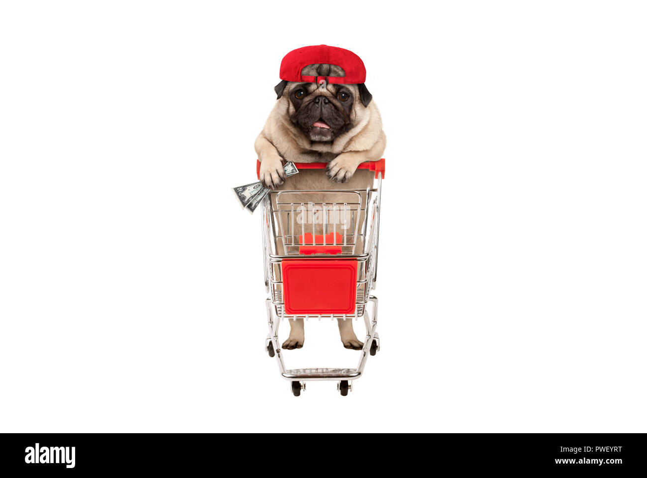 funny happy pug puppy dog with money in is hand, leaning on shopping cart. isolated on white background - Stock Image