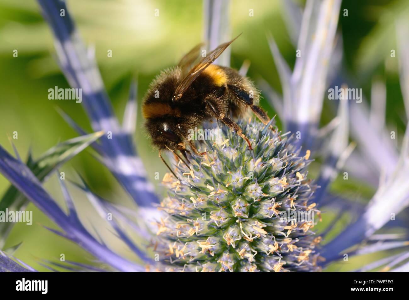 Macro shot of a bee pollinating an eryngium (eryngium amethystinium) flower - Stock Image