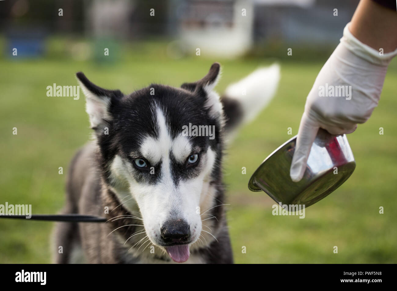 siberian husky dog Stock Photo