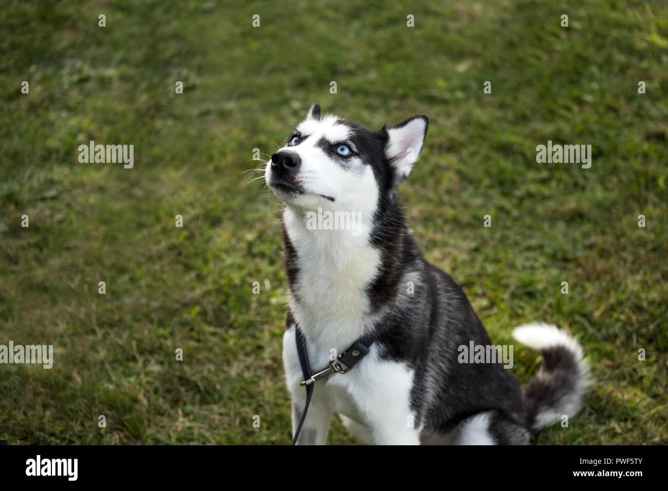 siberian husky dog - Stock Image