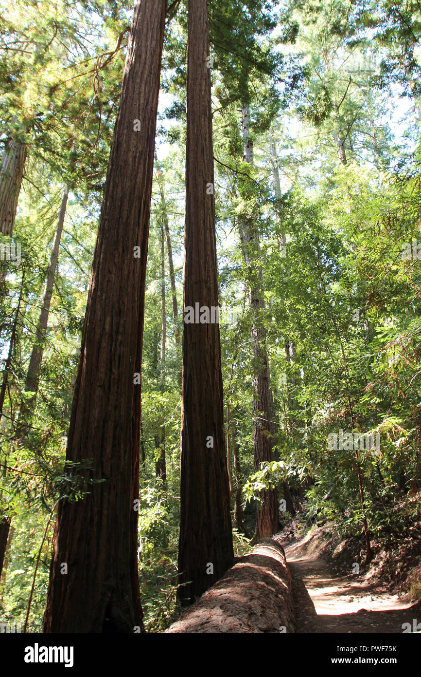 Walking along the Redwood Trail amongst Redwood trees, with a giant Redwood lying alongside the trail, at Big Basin Redwoods State Park in Boulder Cre - Stock Image
