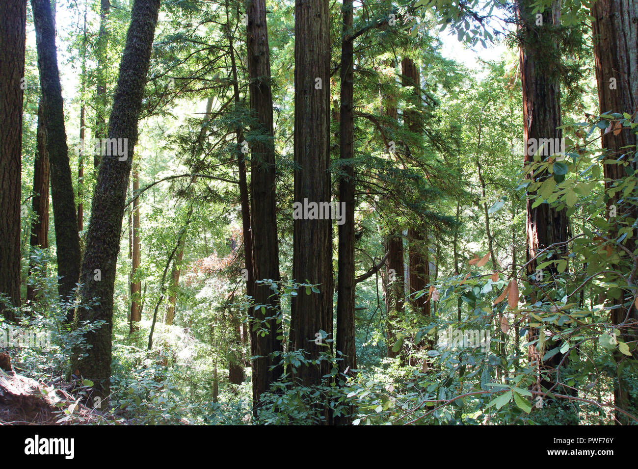 Walking along the Redwood Trail amongst Redwood trees at Big Basin Redwoods State Park in Boulder Creek, California, USA - Stock Image