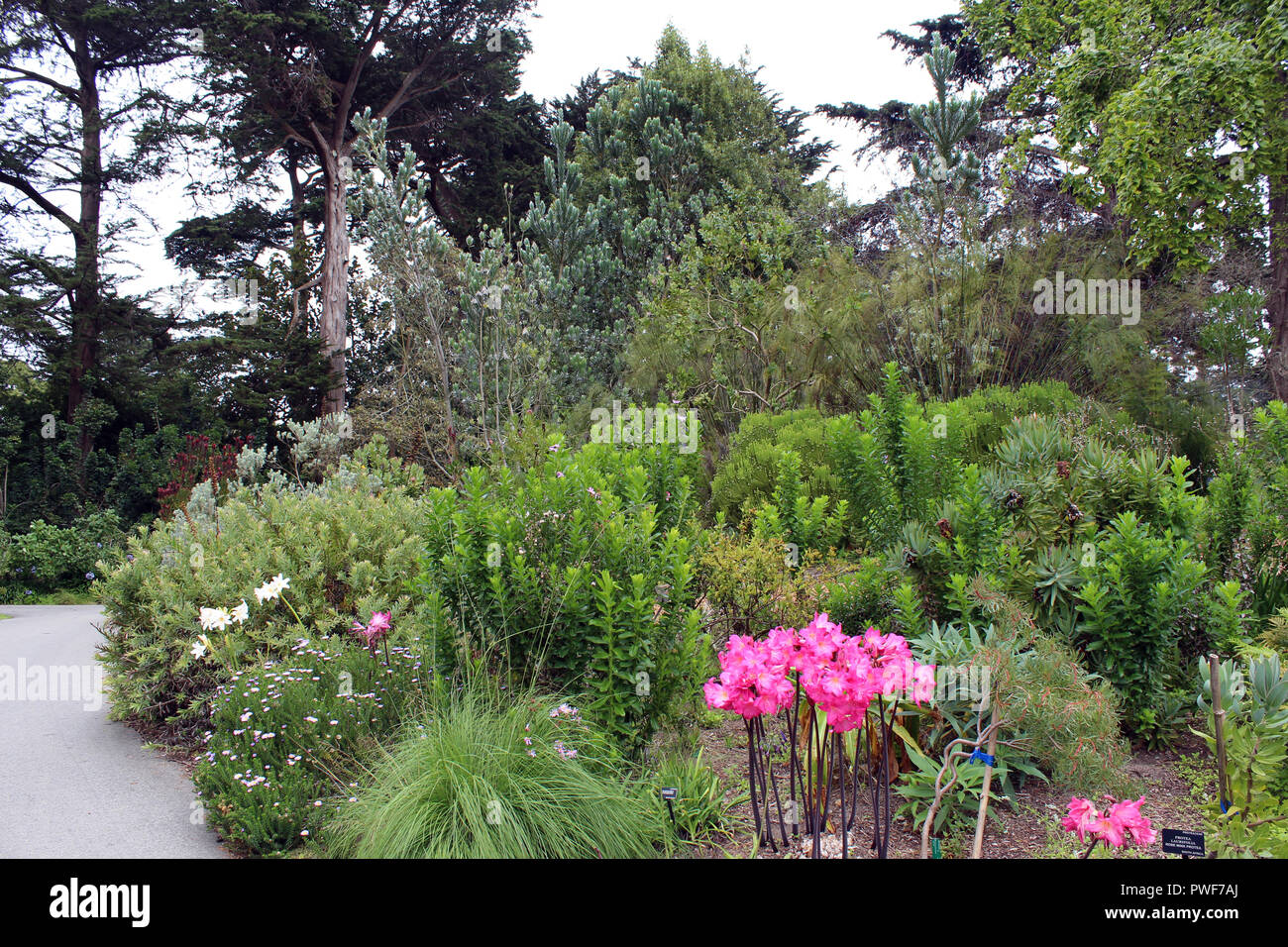 Blooming in a pine stock photos blooming in a pine stock images a landscaped garden with pink amaryllis grasses bushes pine trees and a walking mightylinksfo
