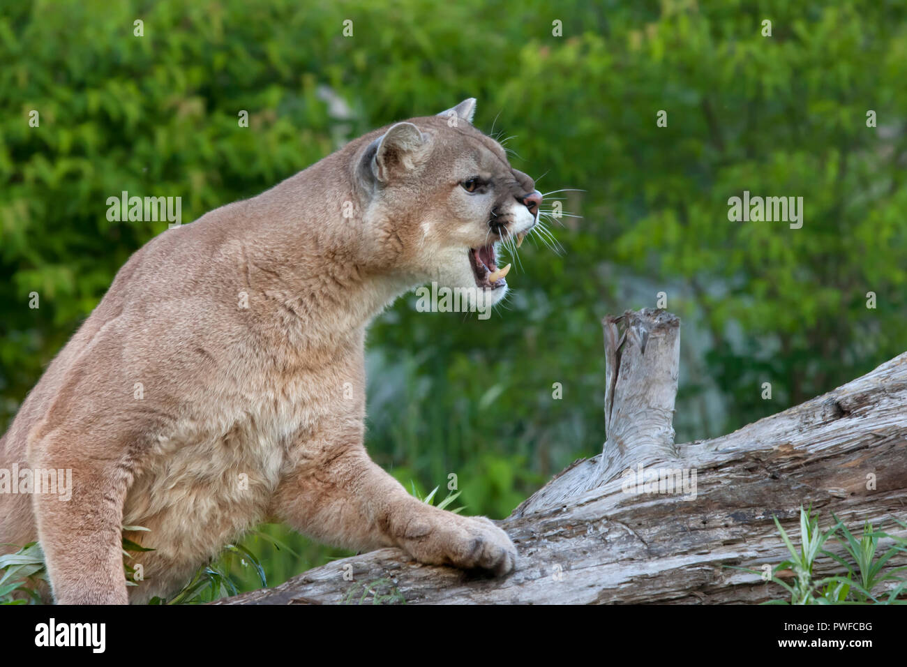 Snarling Mountain Lion - Stock Image