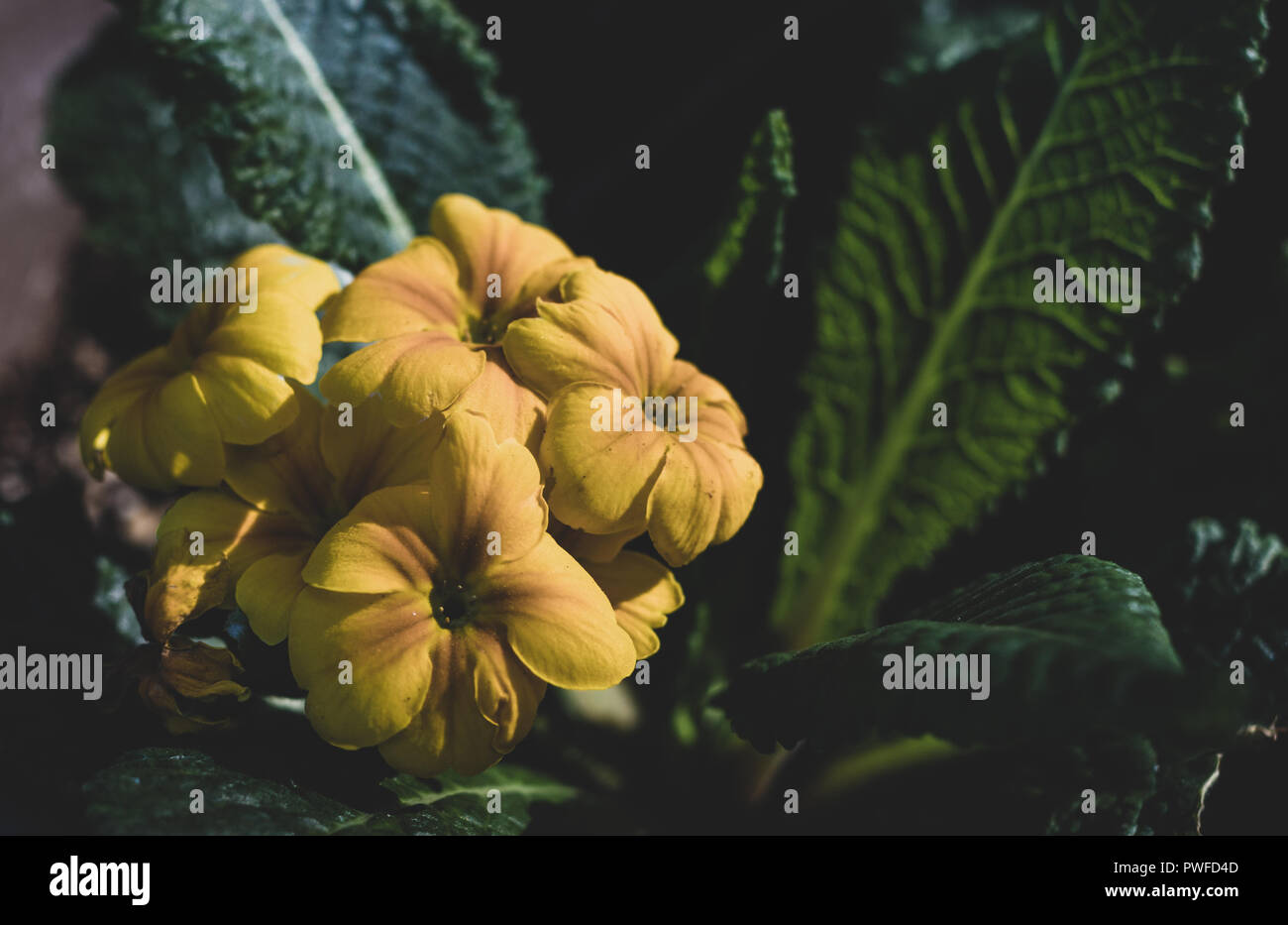 Yellow flowers cropped with muted tones and green leaves and fine detail - Stock Image
