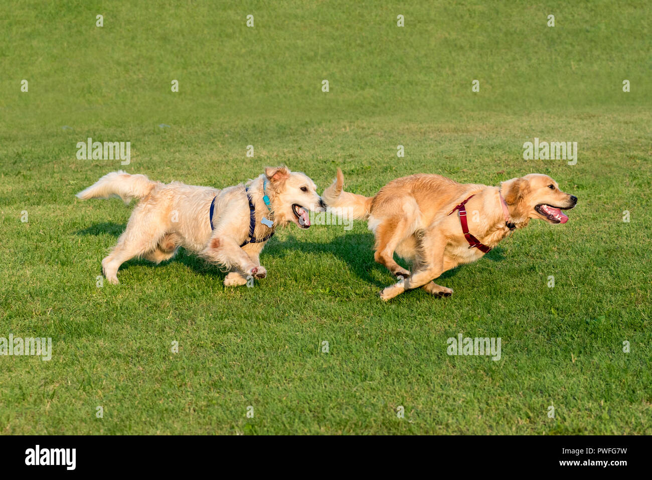 Two Golden Retriever dogs playing together and running on green grass lawn, captured in dynamic moment - Stock Image
