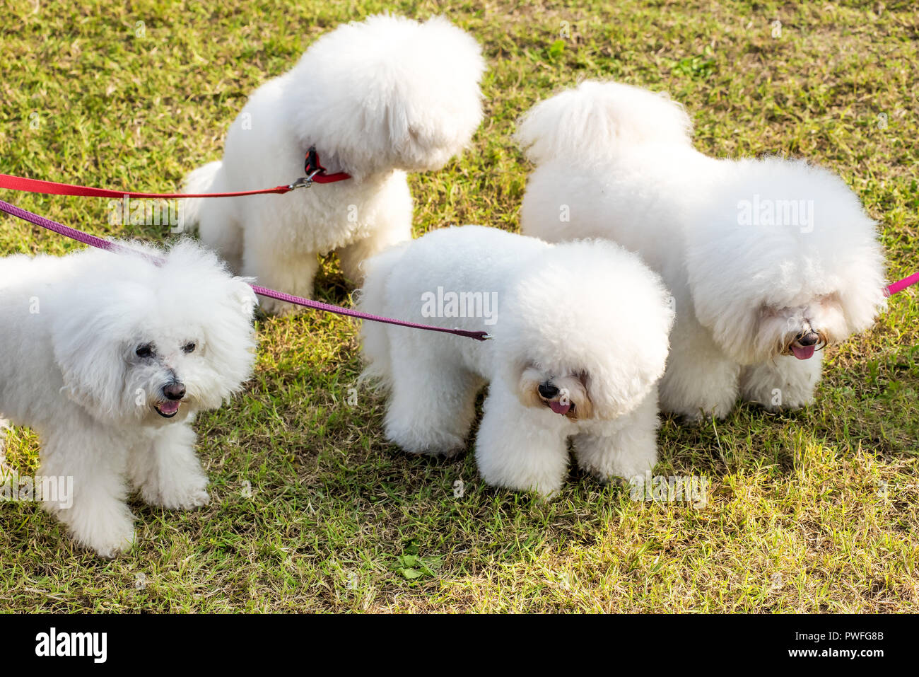 Four white dogs Bichon Frise is being walked in the park, viewed from high angle in close-up on green lawn, held by red leashes - Stock Image