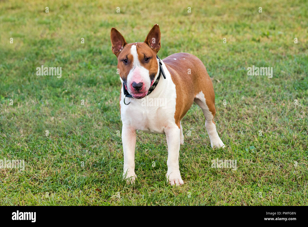 White and fawn Bull terrier dog looking at camera viewed in close-up from its front standing on green grass lawn - Stock Image