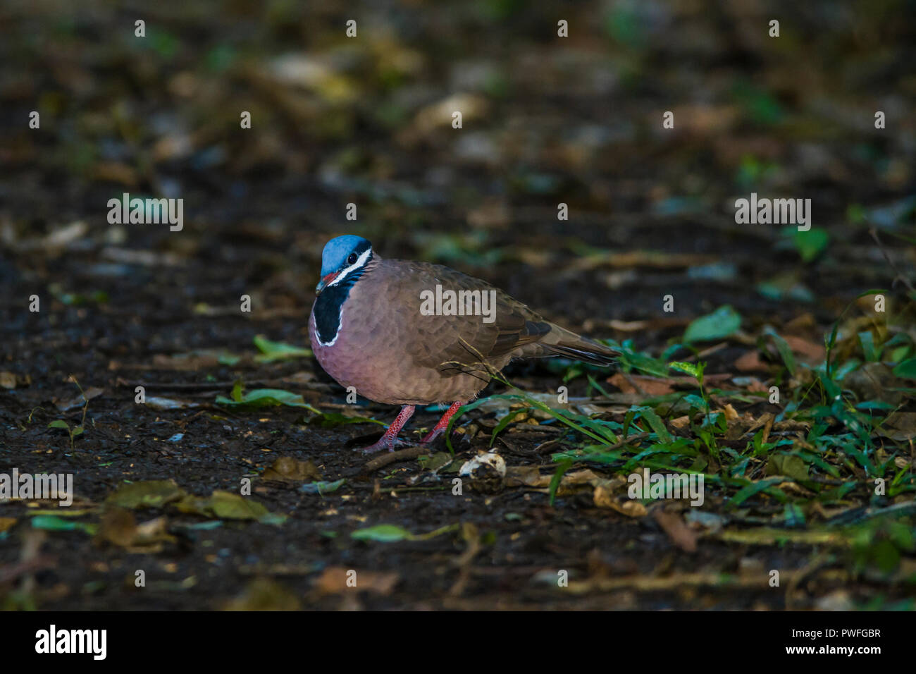 The endemic, highly endangered Blue-headed Quail-Dove (Starnoenas cyanocephala) can be seen near Bermejas very early in the morning. Zapata, Cuba Stock Photo