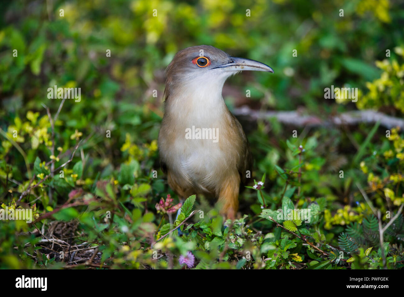 A Great Lizard-Cuckoo (Coccyzus merlini) hunting on the ground for insects. Bermejas Forest Reserve, Cuba. - Stock Image