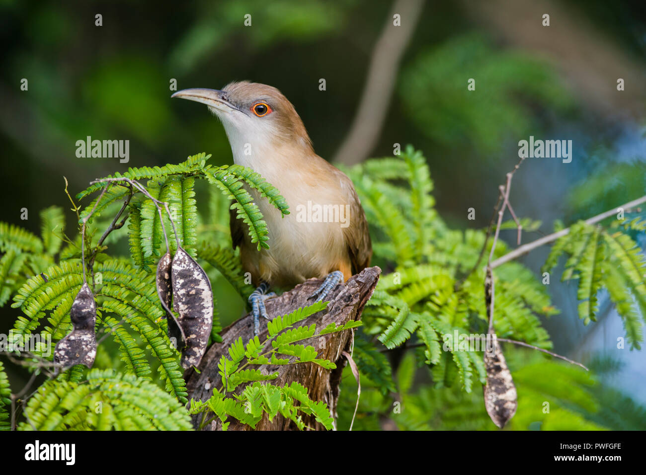 A Great Lizard-Cuckoo (Coccyzus merlini) perched on a stump. Bermejas Forest Reserve, Cuba. - Stock Image