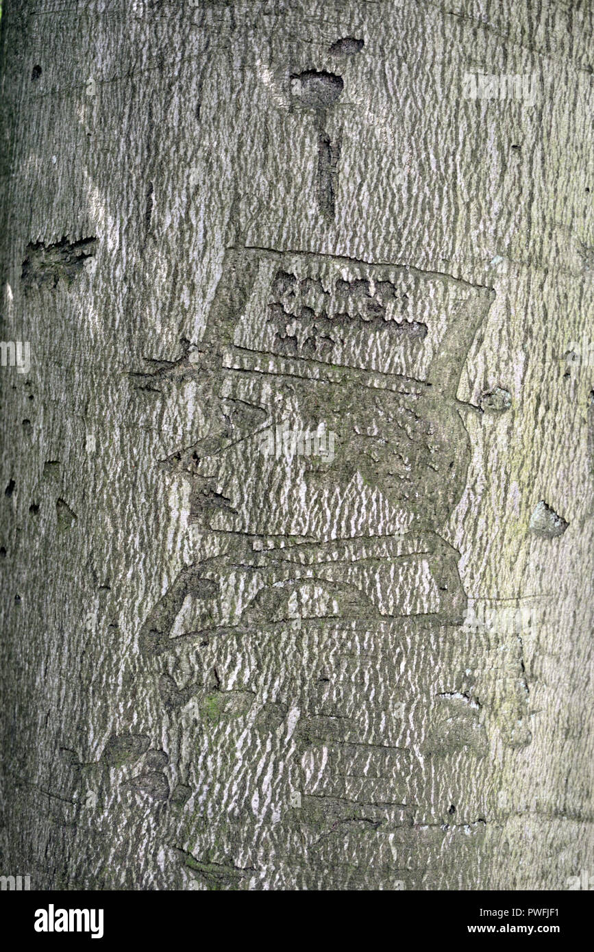 Wood Carved Belgian Soldier, carved in 1917, in Bark of Beech Tree at Bakers Hill Wood Mickleton Gloucestershire England - Stock Image