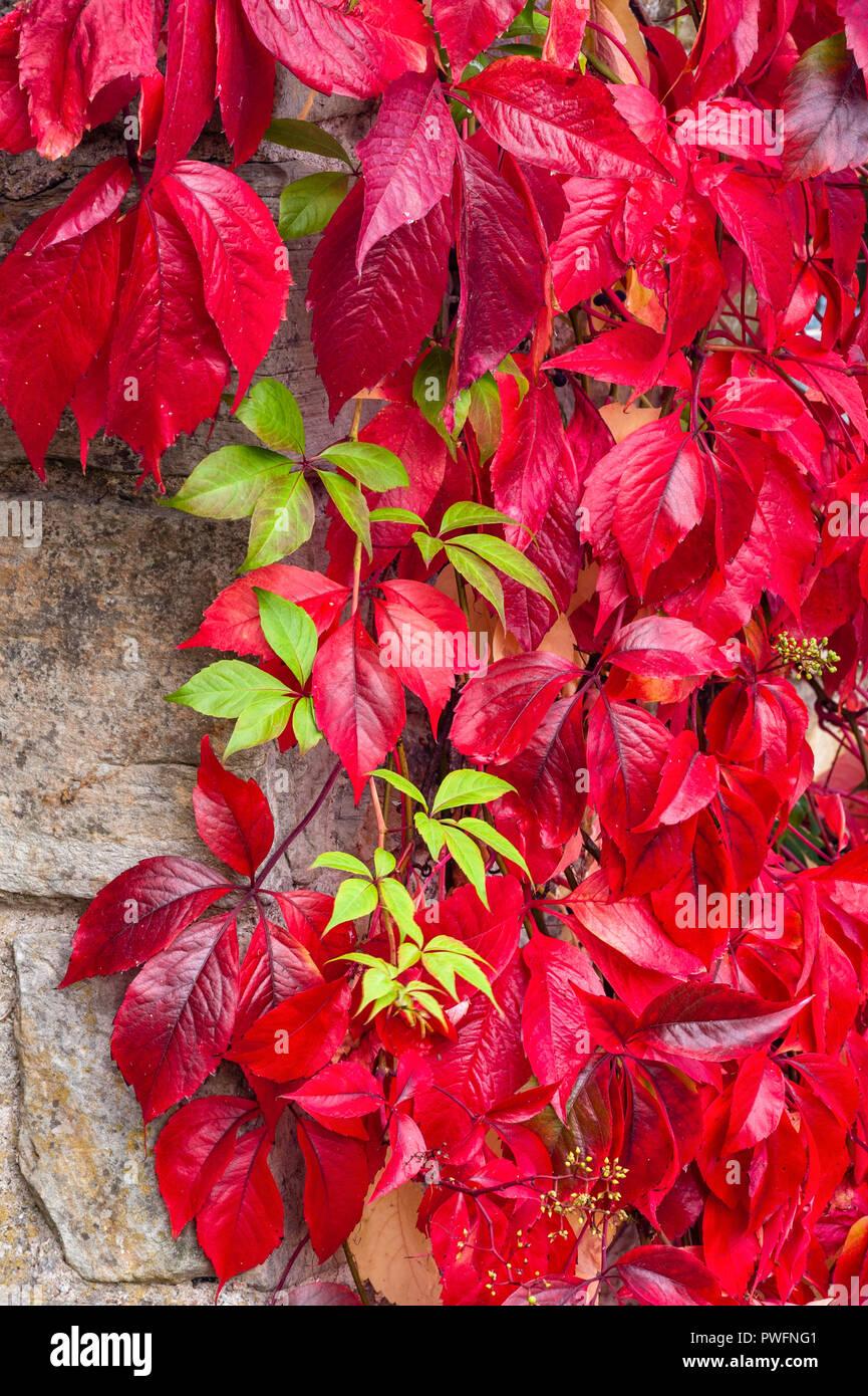 The bright crimson leaves of the climber Virginia creeper (Parthenocissus quinquefolia) in autumn - Stock Image