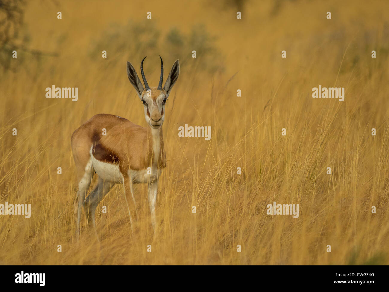 A springbok ewe hides in the tall grass on an African plain image with copy space in landscape format - Stock Image