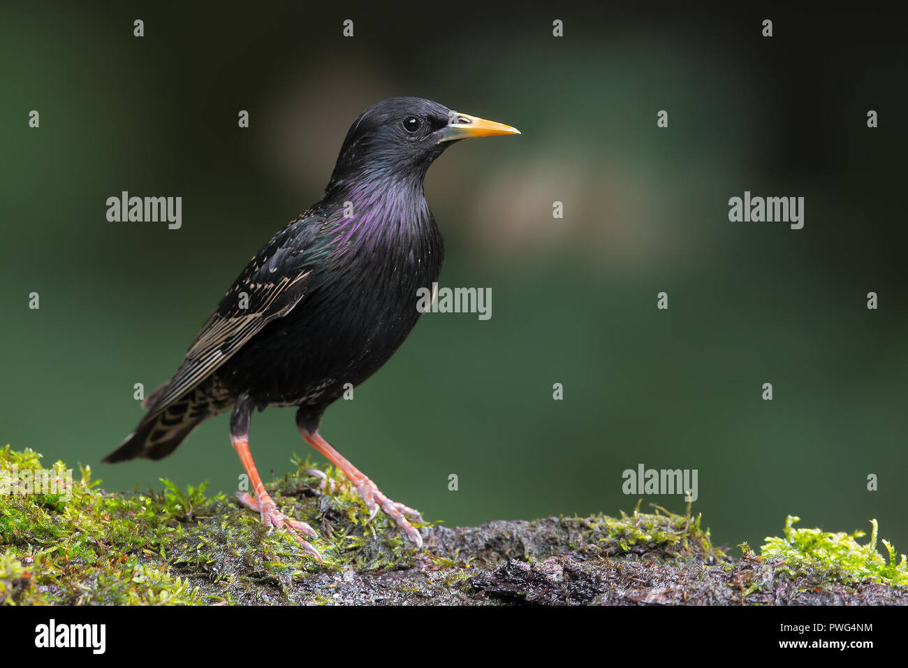 Common starling - Stock Image