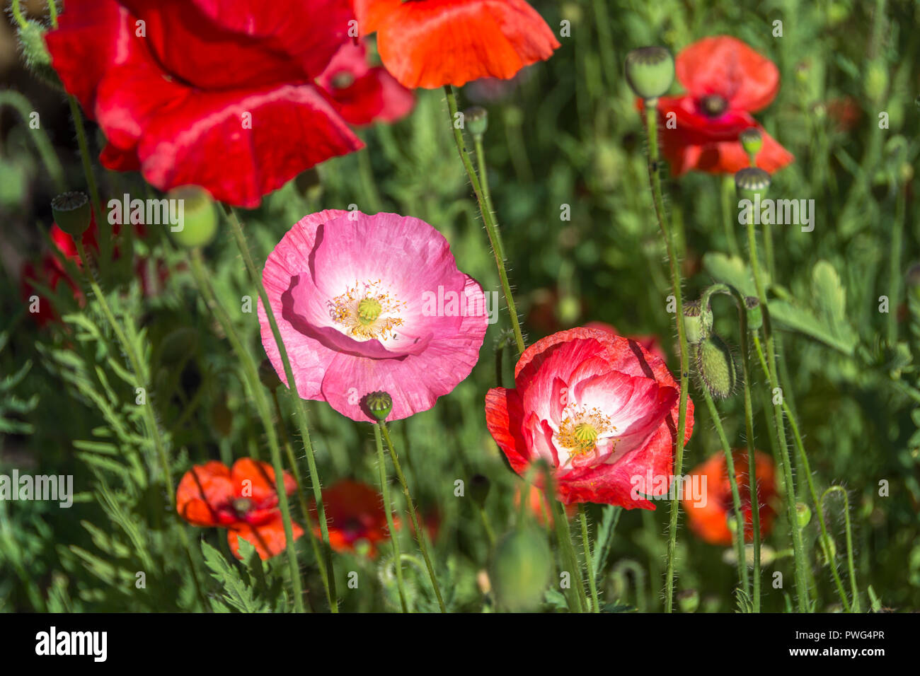 Poppy. Herbaceous plant with showy flowers - Stock Image