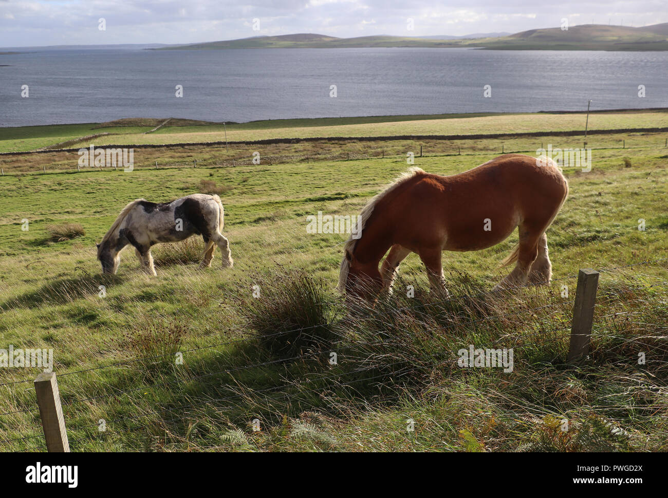 Two beautiful Clydesdale horses graze in a grassy green field that slopes down to the shore of Eynhallow Sound on Rousay Island, Orkney, Scotland. - Stock Image