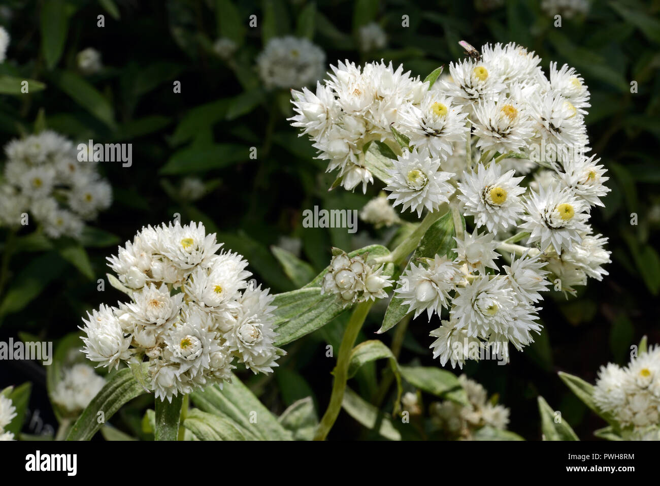 Anaphalis margaritacea (pearly everlasting) is an Asian and North American species. It is found in woodlands, sand dunes and disturbed habitats. - Stock Image