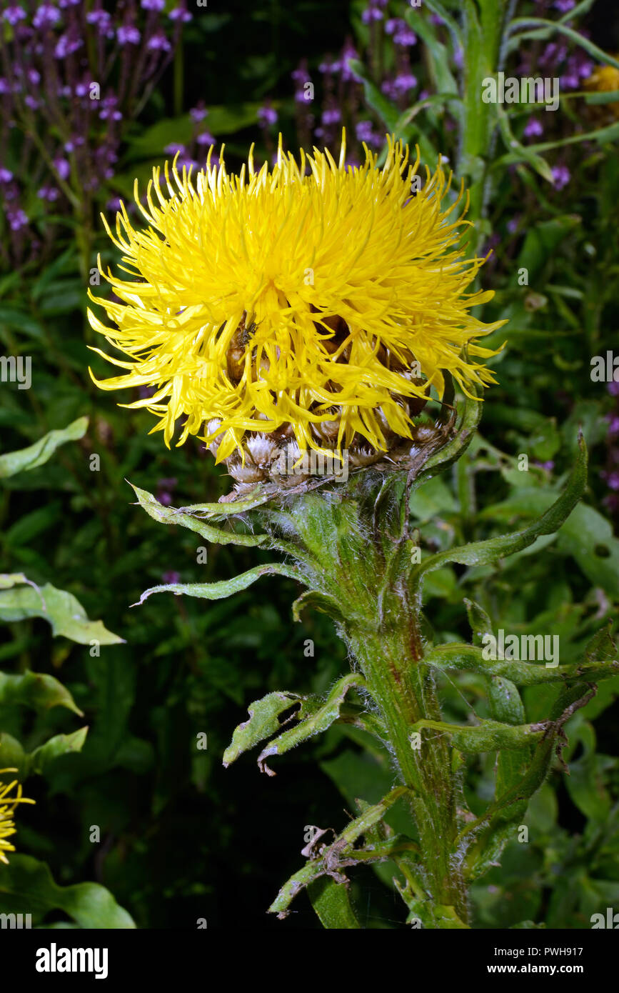 Ornamental Knapweed High Resolution Stock Photography And Images Alamy