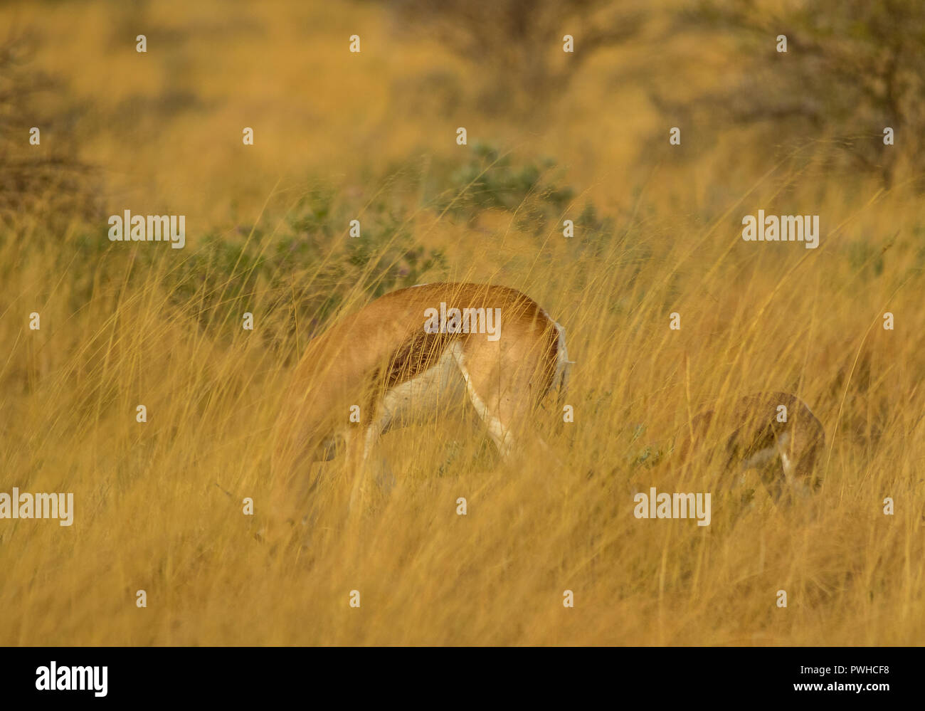 A springbok ewe and calf well hidden in the tall grass in the African bush image with copy space in landscape format - Stock Image
