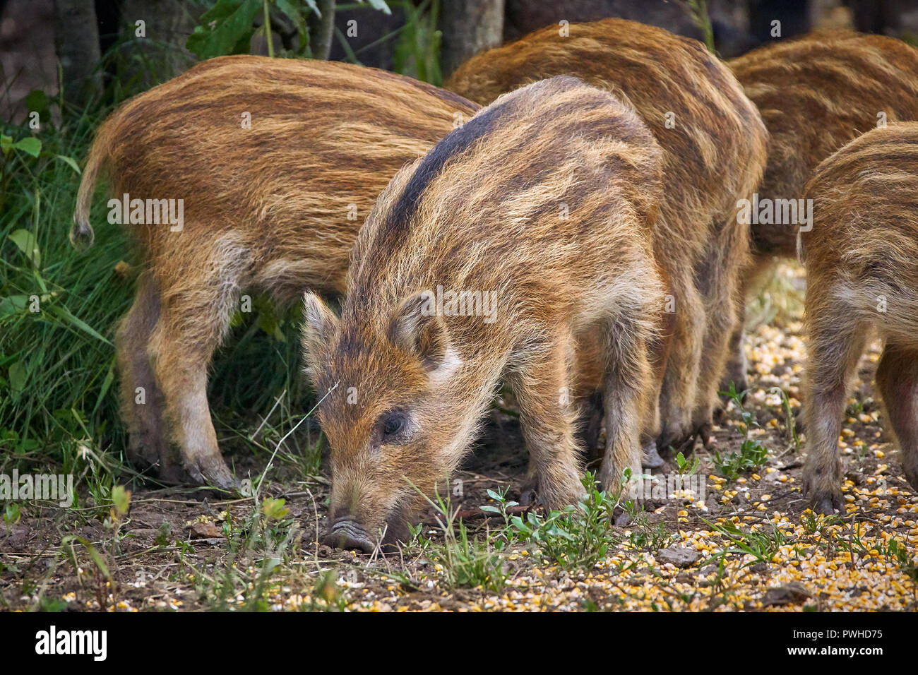Juvenile wild hogs rooting in the forest - Stock Image