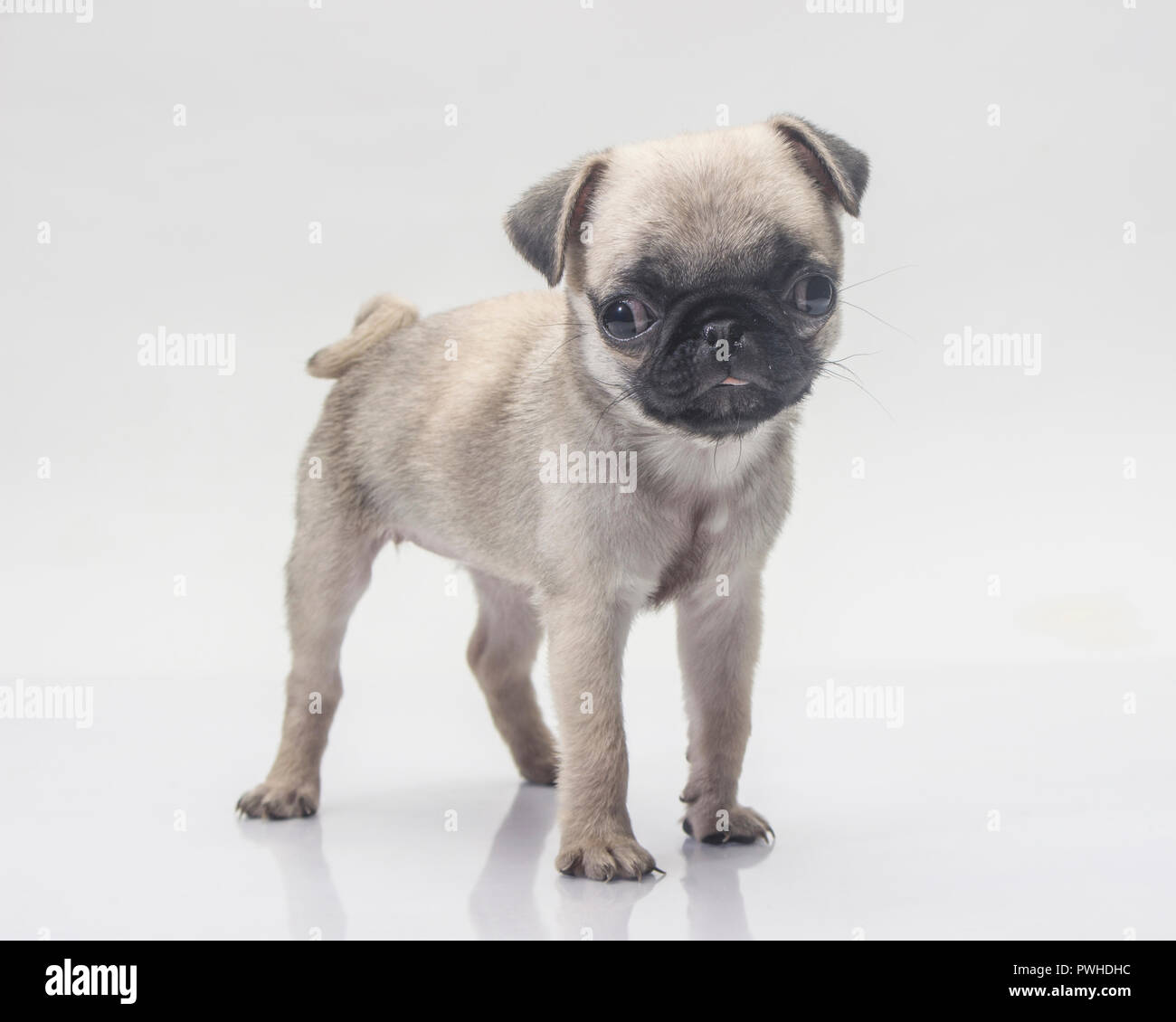 Cute pug dog on white background. - Stock Image